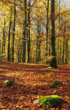 Gold beech forest Royalty Free Stock Image
