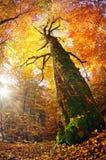 Gold beech forest Stock Photos