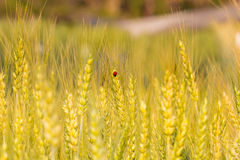 Gold beetle in barley fields Stock Photos