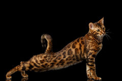 Gold Bengal Cat on Isolated black background Royalty Free Stock Photography