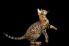 Gold Bengal Cat on Isolated black background Royalty Free Stock Photo