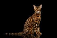Gold-Bengal-Katze auf lokalisiertem schwarzem Hintergrund lizenzfreie stockfotos