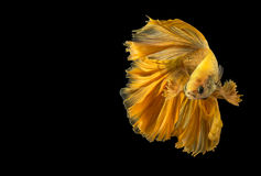 Gold betta fish, fighting fish, Siamese fighting fish. Isolated on black background Royalty Free Stock Photography
