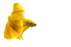 Gold betta fish, fighting fish, Siamese fighting fish isolated on white. Background Royalty Free Stock Image