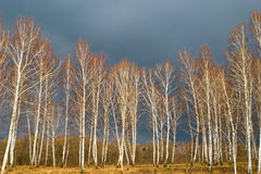 Gold Birch Forest Royalty Free Stock Image