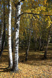 In a gold birch grove. Autumn landscape Royalty Free Stock Images