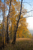 Gold birch and meadow Stock Images