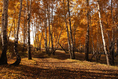 Gold birches. Sunlight and gold birches in a park Stock Photo