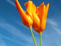 Gold and Blue. Pair of California poppies against bright blue sky in wind Royalty Free Stock Image