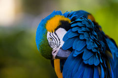 Gold and Blue Macaw Grooming Royalty Free Stock Photo