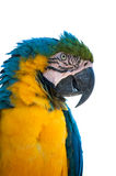 Gold and blue macaw isolated Royalty Free Stock Photos