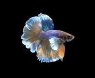 Gold and blue siamese fighting fish halfmoon , betta fish isolat Stock Image