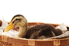 Gold and brown duck baby royalty free stock photography
