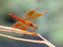 Gold brown large dragonfly Royalty Free Stock Photos