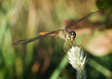 Gold brown large dragonfly Stock Images