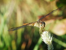 Gold brown large dragonfly Stock Photography