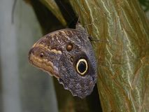 Owl Butterfly alight on a tree trunk. Gold and brown patterns and a large black spot identify an Owl Butterfly, genus Caligo, alight on a tree trunk in a Stock Image