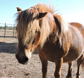 Gold Brown Shetland Pony. Shetland pony, gold brown in color, in a rural setting, compact and strong. Minimum height of approx 7 hands to 11 hands. Photo taken stock image