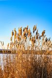 Gold bulrush on winter lake royalty free stock photos