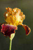 Gold and Burgundy German Tall Bearded Iris. This is a gold and burgundy tall bearded German iris with ruffled edges. These are great perennials that grow in most royalty free stock photo