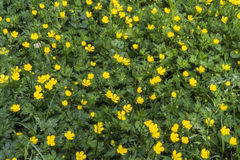 Gold Buttercup, Creeping Buttercup. This little yellow wild flower everyone knows. It blooms on our parterres from May to August or along our roads or roads Royalty Free Stock Photos