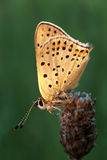 Gold butterfly. Over green background Stock Photos
