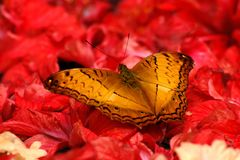 Gold butterfly on red flower Stock Image