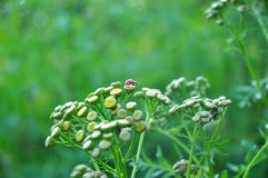 Gold Button Tansy Tanacetum vulgare and Ladybug. Garden scene with a ladybug sitting on a gold button tansy plant with copy space Stock Photo
