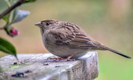 Sparrow perched on a railing royalty free stock photos
