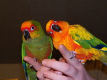 Gold-capped and sun conure Royalty Free Stock Images