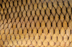 Gold carp scales close-up Stock Images