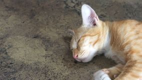Gold cat sleeping on the cement floor so cute zoom in has copy s Royalty Free Stock Images