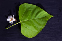 Gold-Catalpa, Catalpa aurea, leaf and blossom. On slate background Royalty Free Stock Image