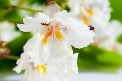 Gold-Catalpa, Catalpa aurea, leaves and blossoms Stock Images