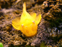 Gold catfish. Aquarium catfish Ancistrus, albino form Stock Photo