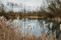 Cattail on the lakeshore. Gold cattail growing on the blue lake, early spring landscape royalty free stock photos