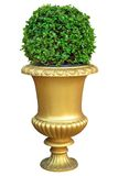 Gold ceramic pot with bush. Gold ceramic pot with fresh bush Stock Photos