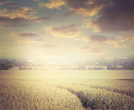Gold cereals field on sky background, retro toned Stock Photo