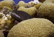 Gold Chain EEl on a Coral Reef. Goldchain Eel on an underwater Coral Reef royalty free stock images