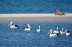 Gold Coast Queensland Australia. GOLD COAST, AUS - SEP 30 2014:Australian man looks at Pelicans at Labrador Gold Coast , Australia.Pelicans are the largest Royalty Free Stock Images