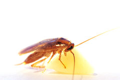 Gold cockroach with cheese on white background.  Royalty Free Stock Photo