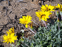 Gold Coin, Mediterranean Beach Daisy (Asteriscus maritimus, Bubo royalty free stock images