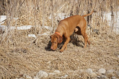 Dog on scent. Gold color hunting dog tracking scent on the ground royalty free stock photography