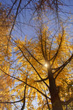 Gold colored autumn trees. Stock Image