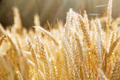 Gold colored cereal field Royalty Free Stock Images