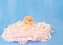 Gold colored chick nested in pink lace Royalty Free Stock Photo