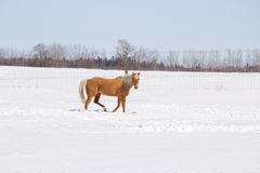 A gold colored horse walking across snow Stock Image