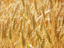 Gold colored Malted Barley heads ready for harvest. Closeup of golden malted barley seed heads ready to be harvested for the growing craft beer industry in New Royalty Free Stock Photo