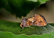 Gold colored moth roosting on a leaf. Quite striking in its appearance, this Golden Looper moth (Argyrogramma verruca) roosts in a small oak tree amid Royalty Free Stock Image