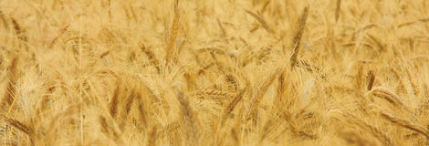 Gold corn. Fields of the cereal stock photography